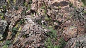 Gryfonów sępy na gniazdeczko, hiszpańszczyzny Extremadura zdjęcie wideo