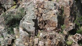 Gryfonów sępy na gniazdeczko w Extremadura, Hiszpania zbiory wideo