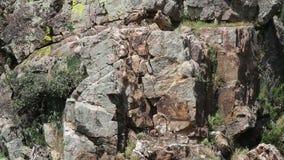 Gryfonów sępy z gniazdeczkiem w hiszpańszczyznach Extremadura zbiory wideo
