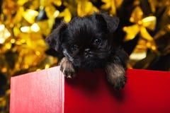 Gryfonu dziecka psa czerwieni pudełka studio Obraz Stock