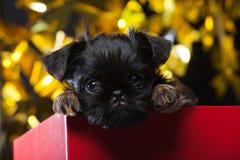 Gryfonu dziecka psa czerwieni pudełka studio Zdjęcia Royalty Free