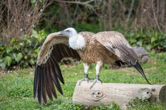 Gryfonu sęp fotografujący na ziemi Fotografia Royalty Free