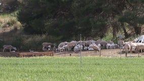 Gryfonu sęp i łasowanie pospolici kruki, Huerto, Hiszpania zbiory wideo