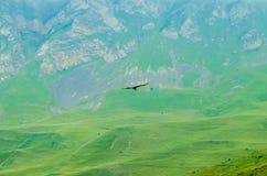 Gryfonu sęp lub Gyps fulvus latamy w górach Zdjęcie Royalty Free