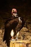 Gryfonu sępa pozycja w wolierze Obrazy Royalty Free