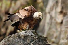 Gryfonu sęp, Gyps fulvus, duzi ptaki zdobycza obsiadanie na kamieniu, rockowa góra, natury siedlisko, Hiszpania Zdjęcie Stock