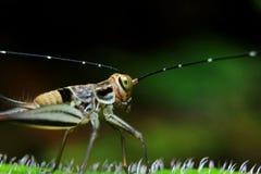 Gryllidae op groen blad stock foto