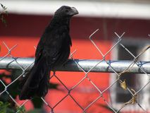 Grym svart fågel på ett staket royaltyfria foton