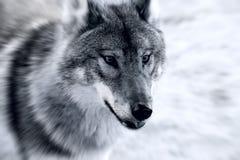 grym wolf Royaltyfri Fotografi