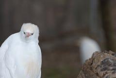 Grymaśny egret Obrazy Stock