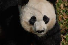 Grymt ansiktsuttryck på framsidan av en jätte- Panda Bear royaltyfria bilder