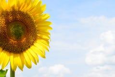 Grymt ensamt för solros Arkivbild