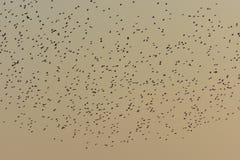 Gryning och moln av fåglar över fältet Royaltyfri Foto