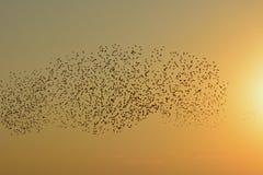 Gryning och moln av fåglar över fältet Arkivbild
