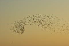 Gryning och moln av fåglar över fältet Royaltyfri Fotografi