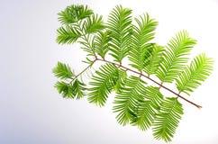 Gryning-redwoodträd (Metasequoiaglyptostroboides) blad Royaltyfria Foton