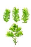 Gryning-redwoodträd (Metasequoiaglyptostroboides) blad Fotografering för Bildbyråer