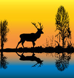 gryningfullvuxen hankronhjort Royaltyfri Foto