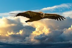 Gryphon vulture buzzard flting in blue sky background. Gryphon vulture buzzard flting in blue cloudy sky background royalty free stock image