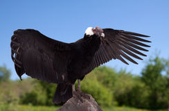 Gryphus del Vultur nella zona di wildness Fotografia Stock
