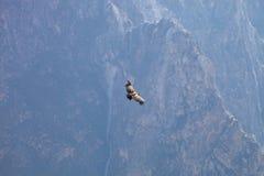 Gryphus volant de Vultur de condor andin, canyon de Colca de vallée, Pérou Images stock