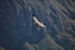 Gryphus volant de Vultur de condor andin, canyon de Colca de vallée, Pérou Photos libres de droits