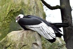gryphusvultur för andean condor Arkivbild