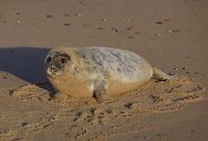 Grypus di Grey Seal Horsey Norfolk Halichoerus Immagine Stock