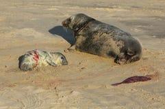 Grypus Halichoerus щенка уплотнения новорожденного серое лежа на пляже около своей отдыхая матери Стоковое Фото