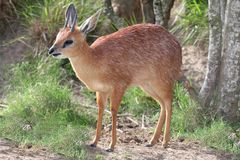 Grysbok Antelope Royalty Free Stock Images