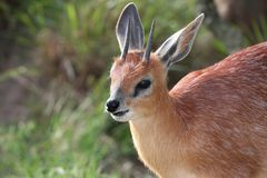 Grysbok Antelope Stock Photography