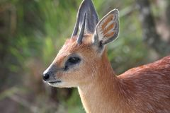 Grysbok Antelope Stock Photos