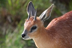 Grysbok Antelope Portrait Stock Photography