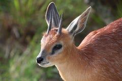 Grysbok Antelope Portrait Stock Photography