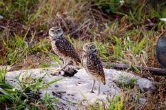 grzebać sowy matującą parę Fotografia Royalty Free