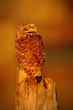 Grzebać sowy, Athene cunicularia, noc ptak z pięknym wieczór słońca światłem, zwierzę w natury siedlisku, Mato Grosso, Pantana Fotografia Stock