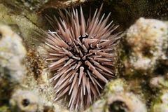 Grzebie czesaka Echinometra mathaei podwodny Fotografia Stock