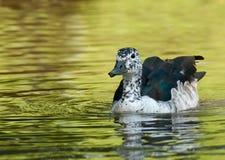 grzebieniowa kaczka Zdjęcie Royalty Free