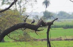 Grzebieniowa kaczka lub gałeczka wystawiający rachunek na drzewie obrazy royalty free