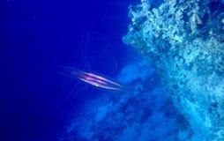 Grzebieniowi Jellyfish fotografia stock