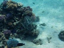 Grzebieniowi Jellyfish zdjęcie royalty free