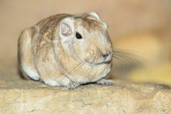 Grzebieniowy szczur Fotografia Stock