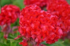 Grzebionatka Kwiat obrazy royalty free
