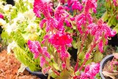 Grzebionatka kwiat Obrazy Stock