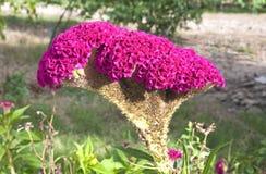 Grzebionatka Kwiat Fotografia Royalty Free