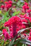 Grzebionatka Kwiat Obraz Stock