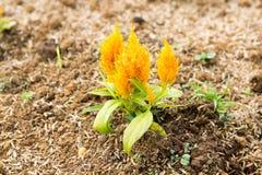 Grzebionatka kwiaty obrazy royalty free