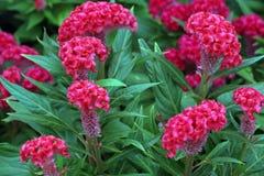 grzebionatka kwitnie czerwie? obraz royalty free