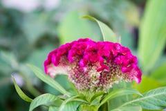Grzebionatka kwitnie na drzewie zdjęcia royalty free