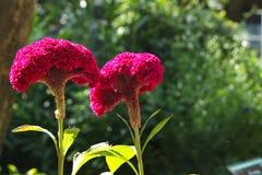 Grzebionatka w ogródzie obrazy royalty free